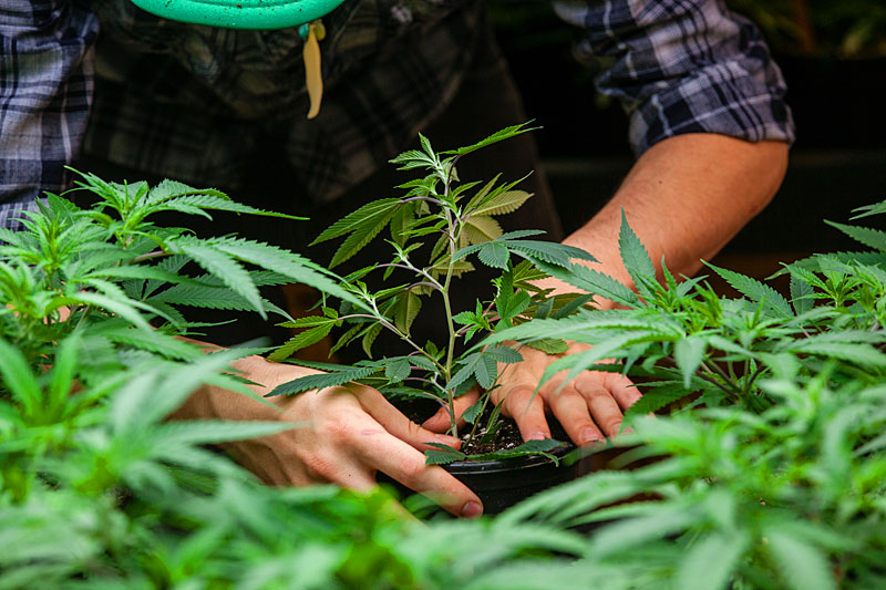 marijuana growing jobs